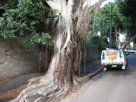 hills-weeping-fig-tree-or-monster-001-mod